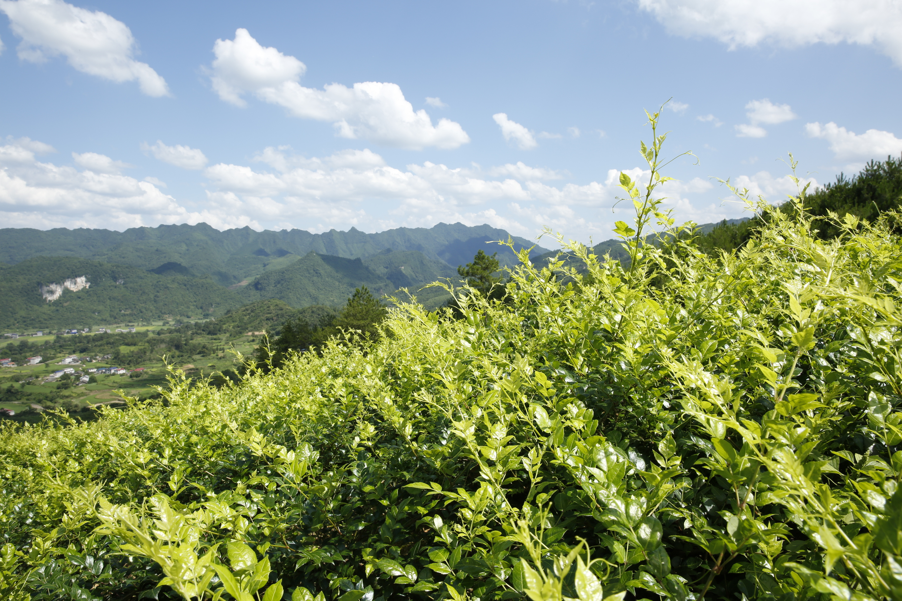 Moyeam vine tea farm land